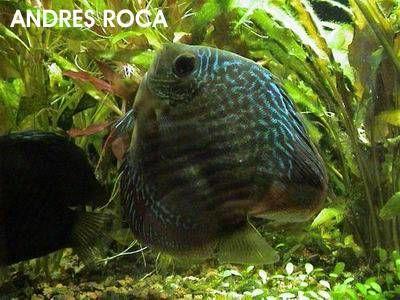 enfermedades mas comunes en los peces disco